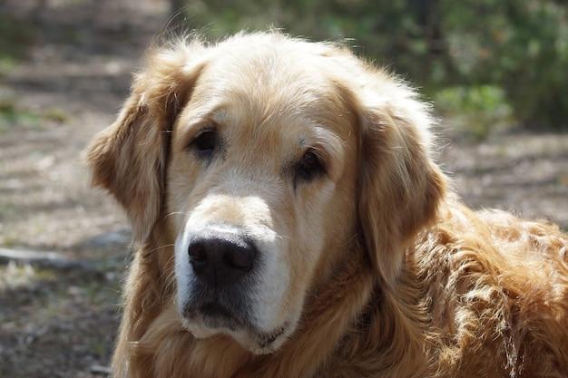 カメラを見ている犬種のゴールデンレトリバーの頭のクローズアップ