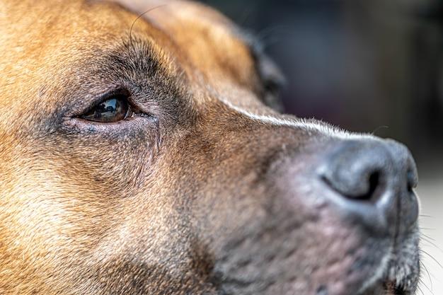 ラブラドールレトリバーの肖像画の一部である犬の鼻のクローズアップ。
