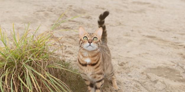 散歩中の飼いならされたベンガル猫のクローズアップ。セレクティブフォーカス。
