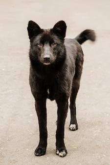 注意深く見て国内の黒犬のクローズアップ
