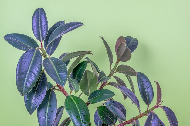 Крупный план растений сорта мелани упругого каучукового дерева фикуса на светло-зеленом фоне.