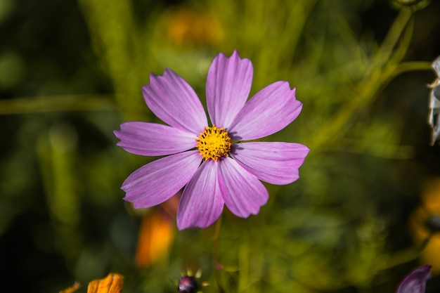 ぼやけた背景に花kosmeyaライラック色のクローズアップ。顕花植物の美しさ