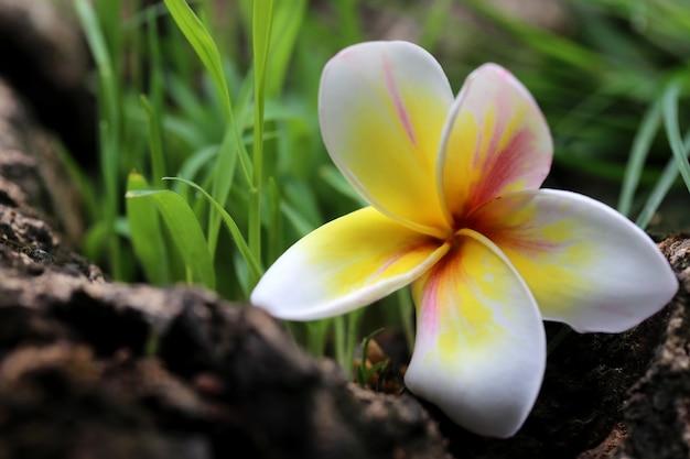 자연 속에서 frangipani의 클로즈업