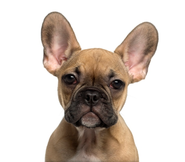 カメラを見てフレンチブルドッグ子犬のクローズアップ