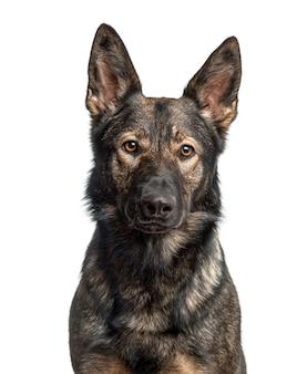 白で隔離されるジャーマンシェパード犬のクローズアップ