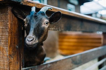 Close-up of a goat peeking head from wooden fence