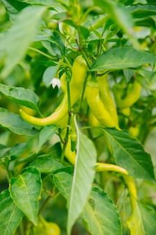 Крупный план зеленого куста созревающего перца на плантации или в саду. свежие зеленые плоды горького или сладкого перца. сбор урожая на ферме.