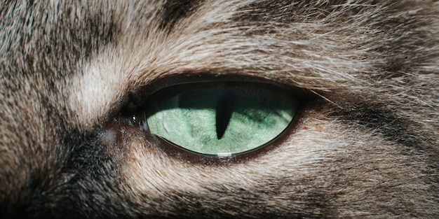Крупный план зеленого глаза кошки с узким зрачком, смотрящего в камеру, макросъемка животного. прищурившись кошачий глаз, выборочный фокус