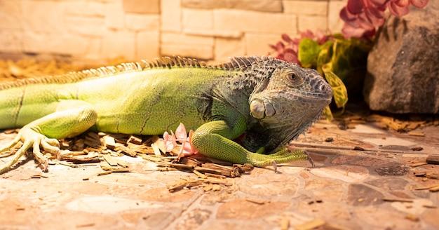 Крупный план зеленой игуаны, греющейся на солнце