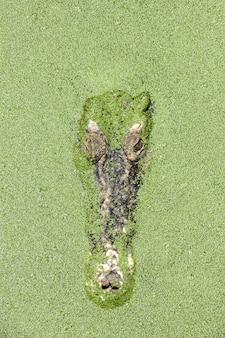 Крупный план головы крокодила.