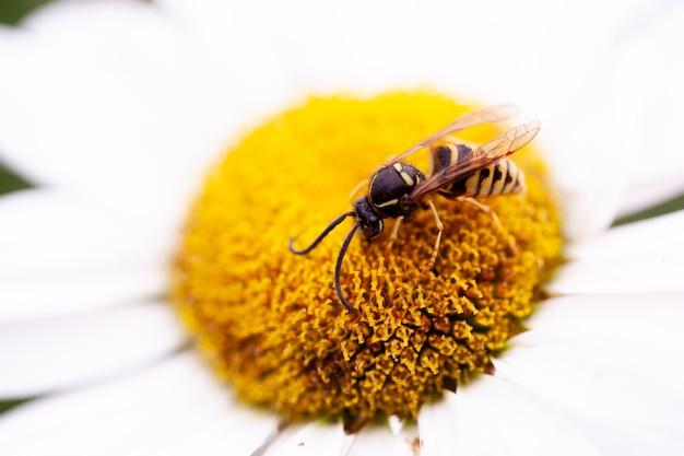 텍스트를 위한 공간이 있는 데이지의 꽃가루에 앉아 있는 꿀벌의 클로즈업