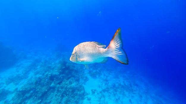 해저 배경에서 헤엄치는 거대한 회색 열대어의 클로즈업.