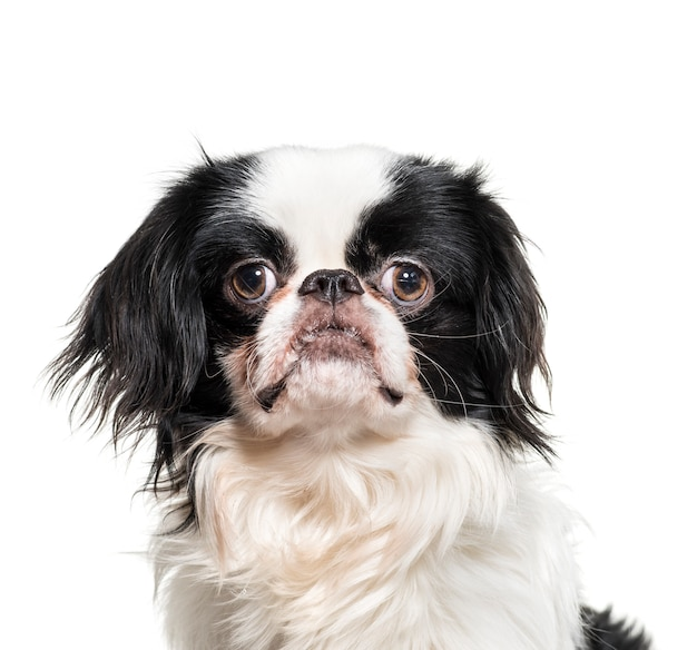 分離された日本のあご犬のクローズアップ