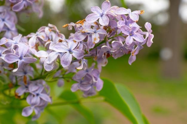 숲에서 밝은 보라색 라일락 꽃의 클로즈업