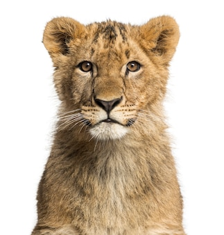 カメラを見てライオンの子のクローズアップ
