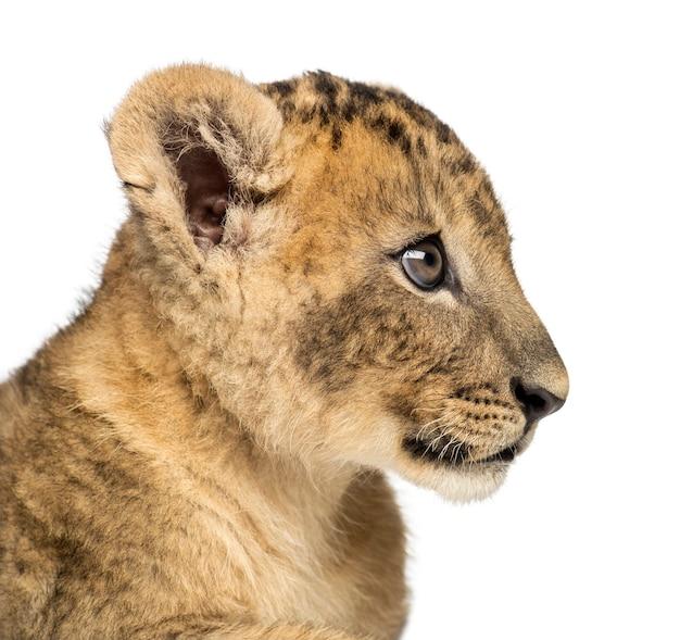 白で隔離されるライオンの子のプロファイルのクローズアップ