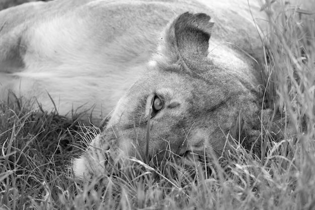 Крупный план львицы, пытающейся отдохнуть в траве