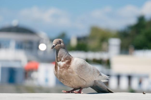 ぼやけた街に孤独な鳩のクローズアップ