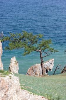 バイカル湖の岩の多い海岸にある孤独な素晴らしい松の木のクローズアップ