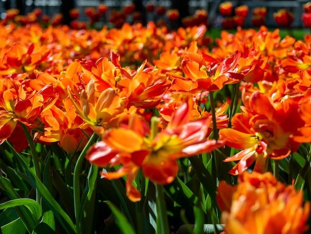 たくさんのオレンジ色の緋色のチューリップのクローズアップ。花壇、背景として使用できます