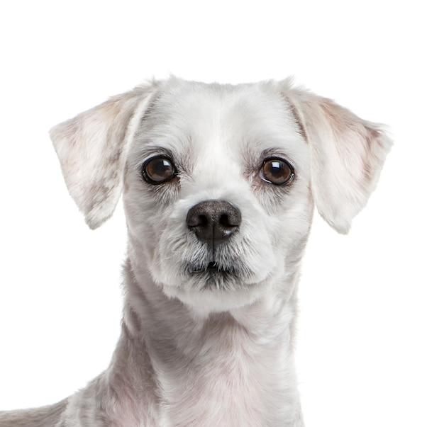 Крупный план на мальтийской собаке, изолированный