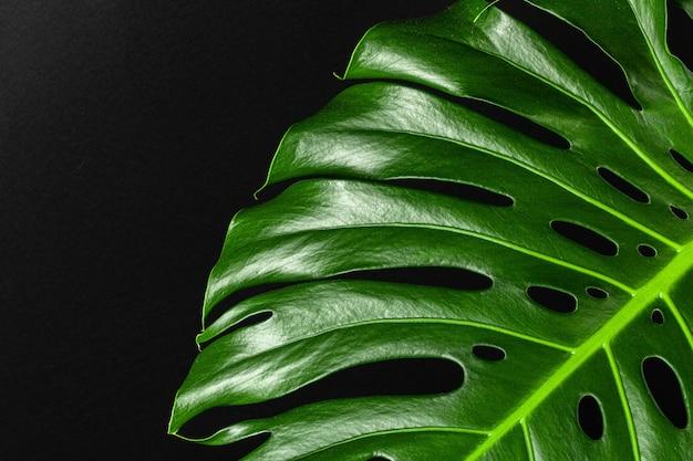 어두운 검은 배경에 몬스 테라 잎의 닫습니다. 목적