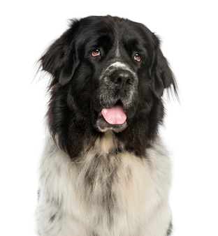 Крупный план собаки ньюфаундленда, тяжело дышащей, глядя вверх, изолированные на белом фоне