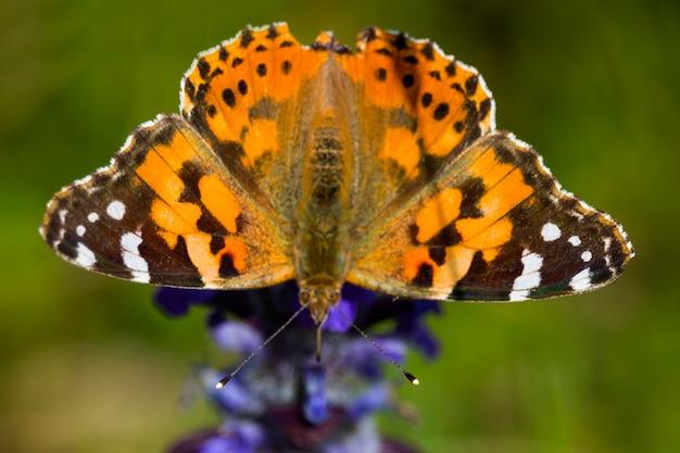 Крупный план нарисованной бабочки леди ванесса кардуи. оранжево-черная дневная бабочка на сиреневом цветке лаванды, лето
