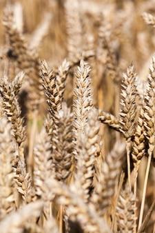 곡물의 건조, 무르 익는 귀를 가진 들판의 일부의 클로즈업