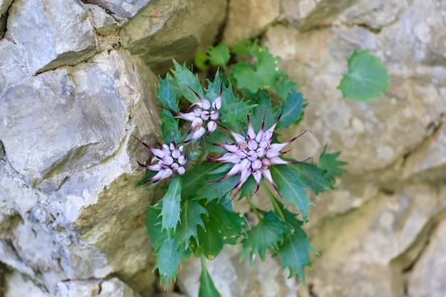 Крупным планом physoplexis comosa, хохлатый рогатый рампик, редкий цветок, итальянские альпы