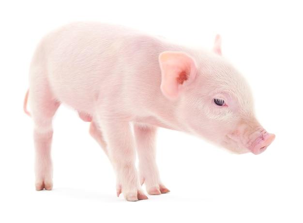 Крупный план свиньи на белом фоне