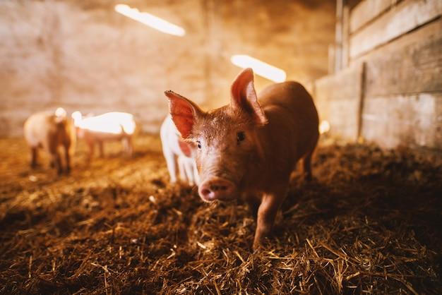 豚舎で遊ぶ豚のクローズアップ。豚のグループ。