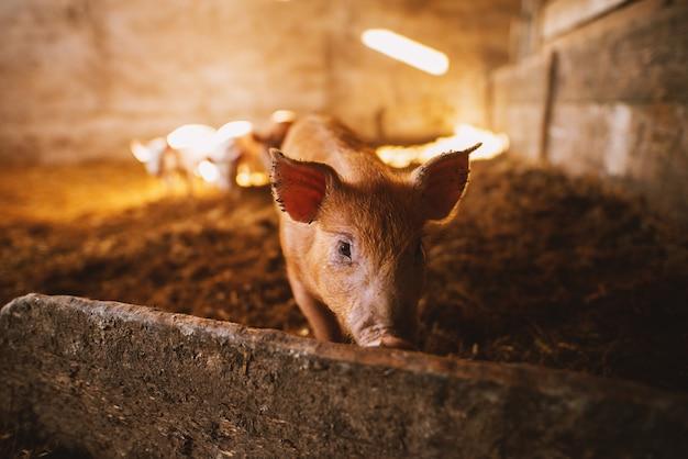 豚舎で遊ぶ豚のクローズアップ。