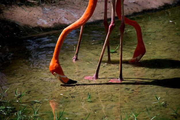 물 속에서 음식을 위해 절을 하는 분홍색 플라밍고의 클로즈업.