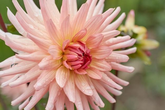 ダリアという名前のピンクの花びらの花の拡大図。