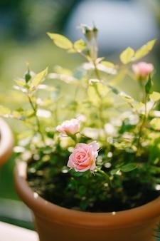 Крупный план розовой розы в коричневом горшке.