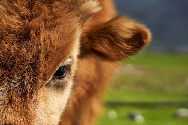 毛むくじゃらの牛のポーターのクローズアップ。