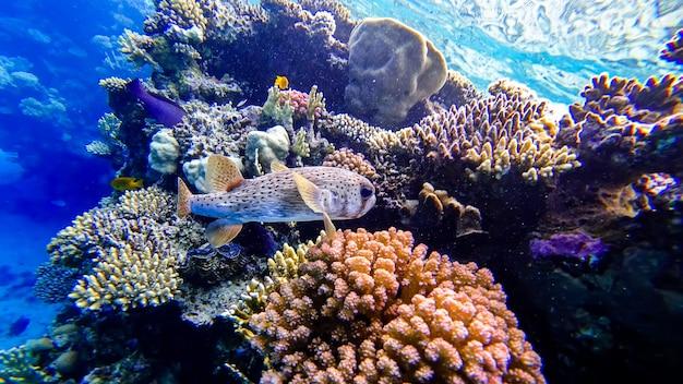 紅海にある珊瑚を背景にしたフグのクローズアップ