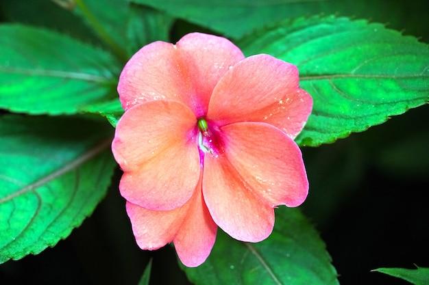 보라색 impatiens 꽃의 클로즈업