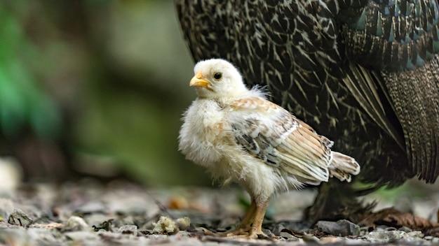 Крупным планом цыпленок сочи россия
