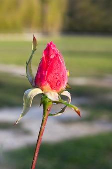 雨上がりの庭の赤いバラのつぼみのクローズアップ。春の庭の茎の若いピンクのつぼみ
