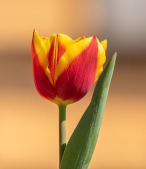 Крупный план красно-желтый тюльпан с листом