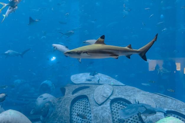 Крупный план рифовой акулы возле атлантиды, город санья на острове хайнань, китай.