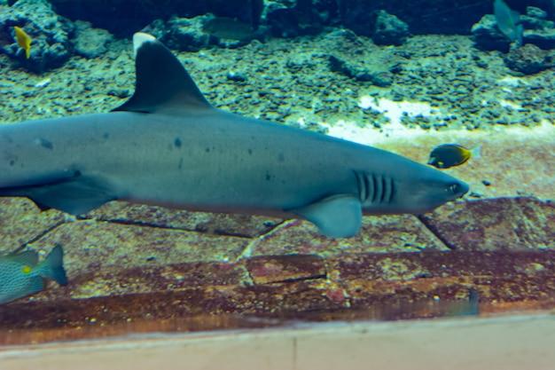 中国海南島の三亜市アトランティス近くのサンゴ礁のサメのクローズアップ。