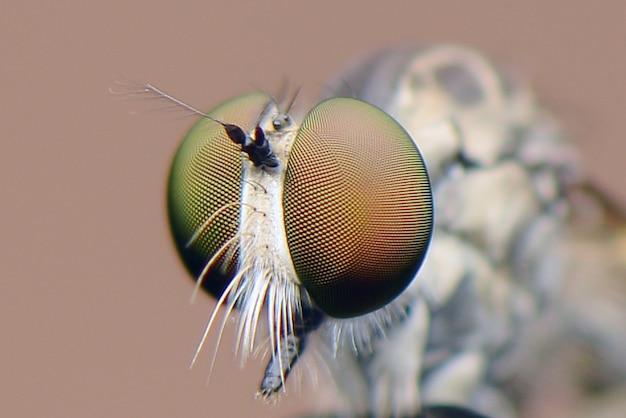 Robberfly 머리의 클로즈업