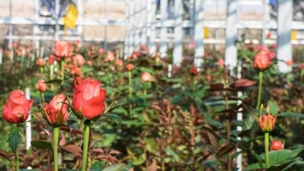 온실에서 흐릿한 꽃 배경에 장미 클로즈업