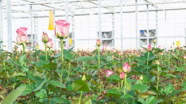 Крупный план розы на размытом цветочном фоне в оранжерее