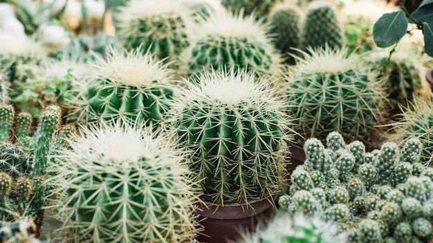 Крупный план острых колючих растений кактуса