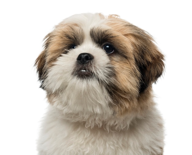 白で隔離されるシーズーの子犬のクローズアップ