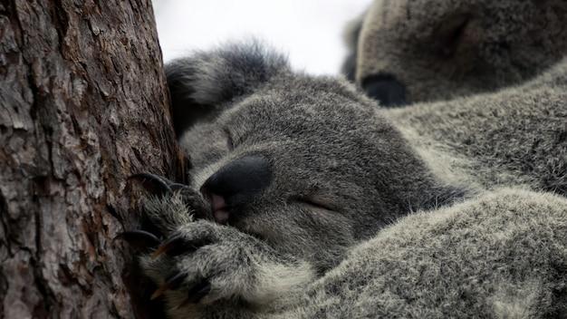 Закройте вверх новичка коалы спать со своей матерью на заднем плане